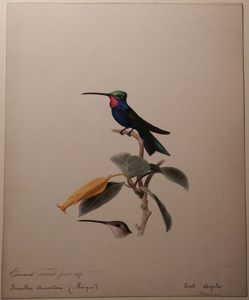 TRAVIES, Edouard (1809-1865). Original Painting of a Blue-tufted Starthroat Hummingbird. Paris: 1847.