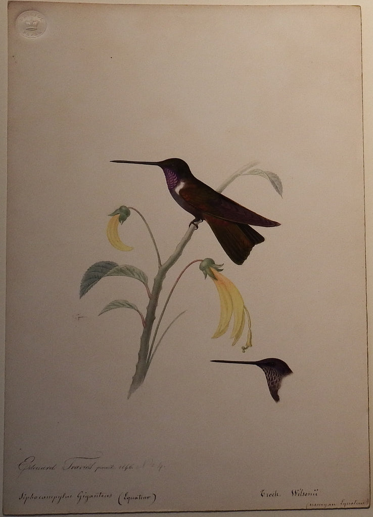 TRAVIES, Edouard (1809-1865). Original Painting of a Brown Inca Hummingbird. Paris: 1846.