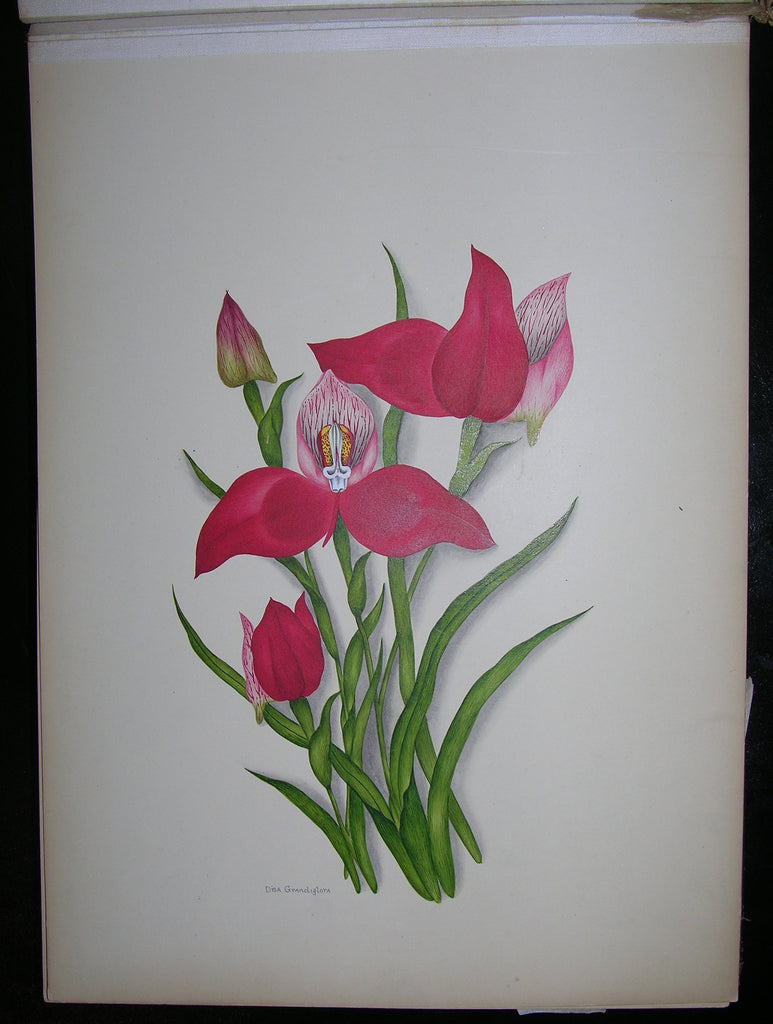 DIXIE, Ethel May (1876-1973). A Botanical album of South African Flowers. South Africa: Ca 1910.