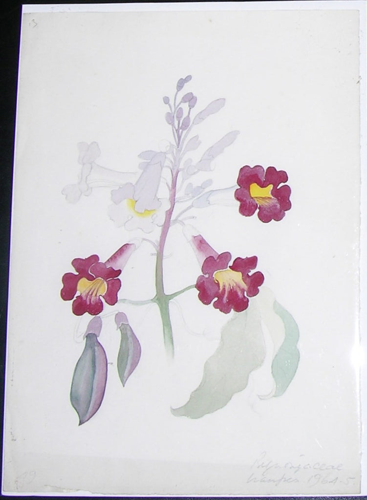MEE, Margaret (1909-1988). Original gouache and watercolour over graphite, drawing of the Bignoniaceae flower. Uaupes: 1964-1965.