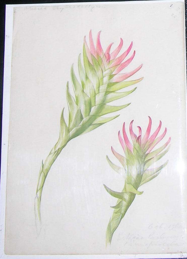 MEE, Margaret (1909-1988). Original gouache and watercolour over graphite, drawing of the succulent Vriesea erythrodactylon. Estacao Biologico Paranapiacaba: 1960.