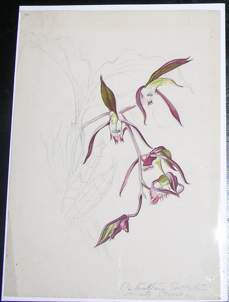 MEE, Margaret (1909-1988). Original gouache and watercolour over graphite, drawing of the orchid Catasetum Saccatum. Mato Grosso: ca 1962-1965