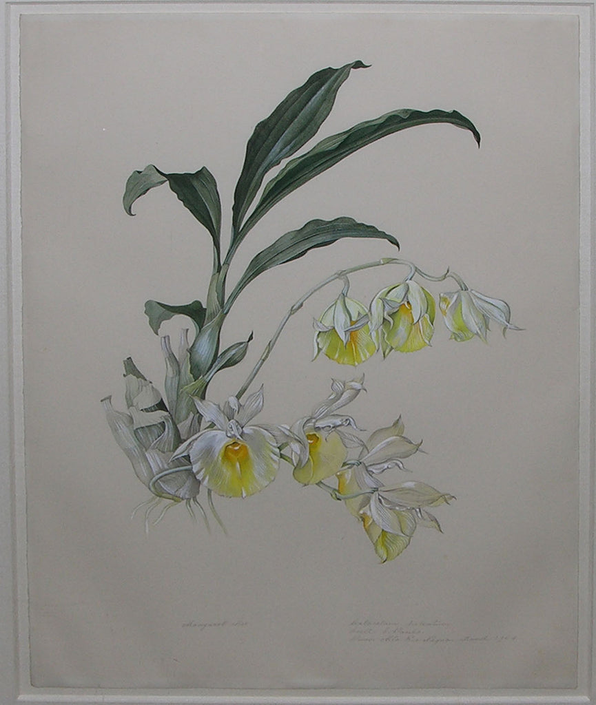 MEE, Margaret (1909-1988). Magnificent original gouache and watercolour over graphite, drawing of the Mother-of-Pearl Flower orchid, Felt-Capped Catasetum, or Catasetum pileatum. Alto Rio Negro: March, 1964.