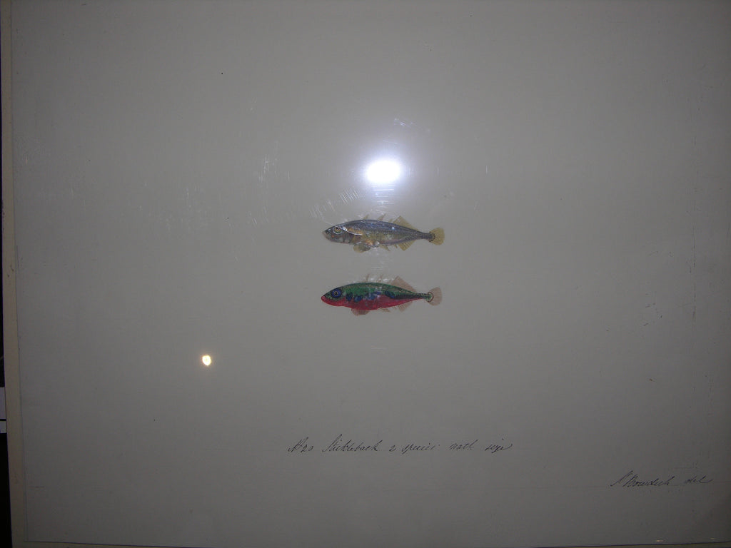 BOWDICH, later LEE, Sarah (1791-1856). Original Watercolour and Gouache Drawing of a pair of Stickleback Fishes. 1828-1836.