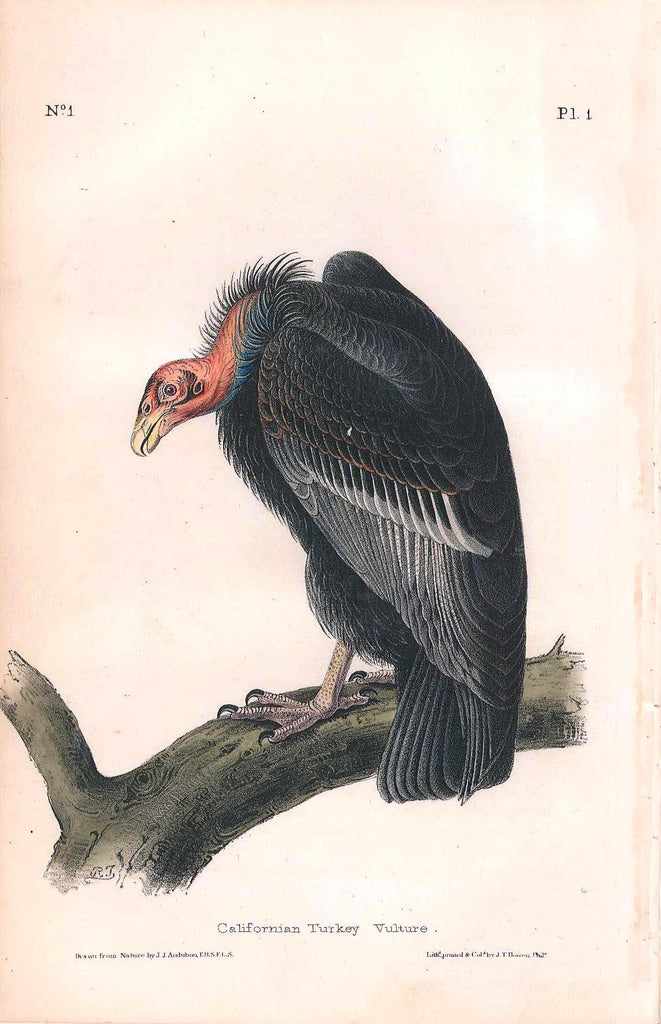 AUDUBON, John James (1785 - 1851). Plate 001, California Turkey Vulture
