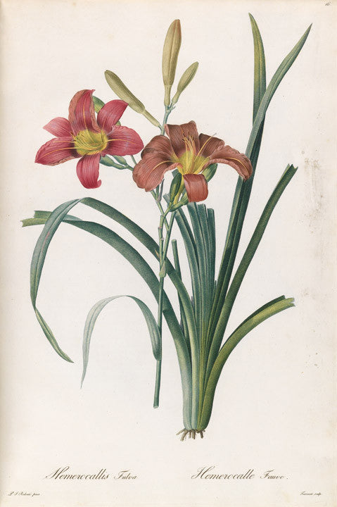 REDOUTÉ Pierre-Joseph (1759-1840). Plate 16, Orange Day Lily     Hemerocallis fluva