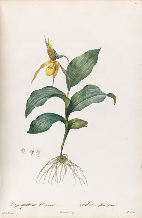 REDOUTÉ Pierre-Joseph (1759-1840). Plate 20, North American Yellow Ladyslipper    Cypridedium flavescens