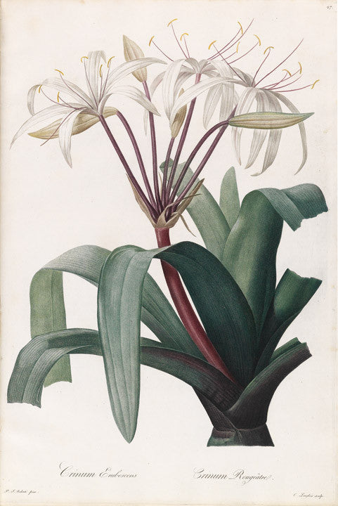 REDOUTÉ Pierre-Joseph (1759-1840). Plate 27, Blush-coloured Crinum     Crinum erubescens