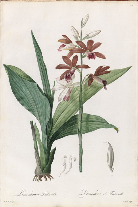 REDOUTÉ Pierre-Joseph (1759-1840). Plate 43, Brown (flower) of (Lady) Tankerville     Limodorum tankerwillae
