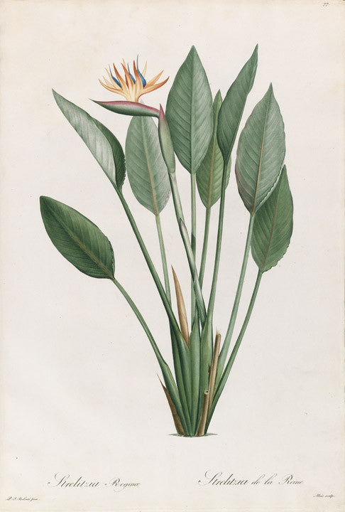 REDOUTÉ Pierre-Joseph (1759-1840). Plate 77, Bird-of-Paridise Flower    Strelizia reginae