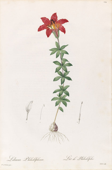 REDOUTÉ Pierre-Joseph (1759-1840). Plate 104, Louisina Red-Lily/ Wood Lily     Lilium philadelphicum