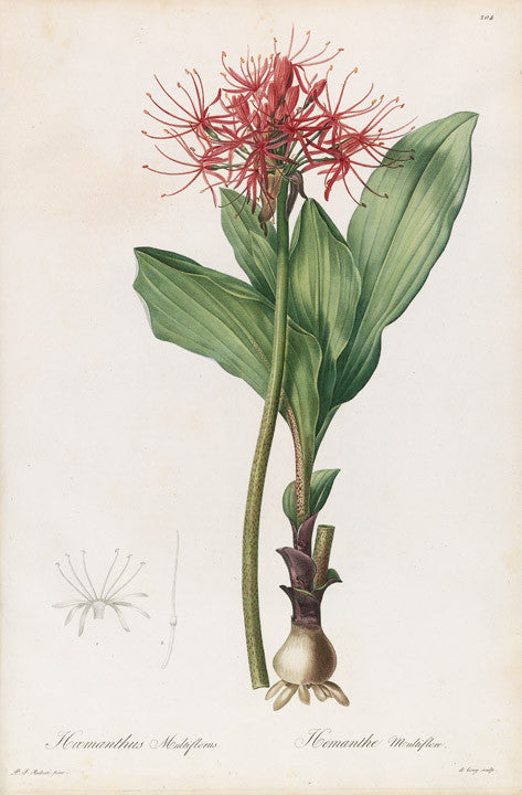 REDOUTÉ Pierre-Joseph (1759-1840). Plate 204, Many-flowered Blood-Umbel     Haemanthus multiflorus