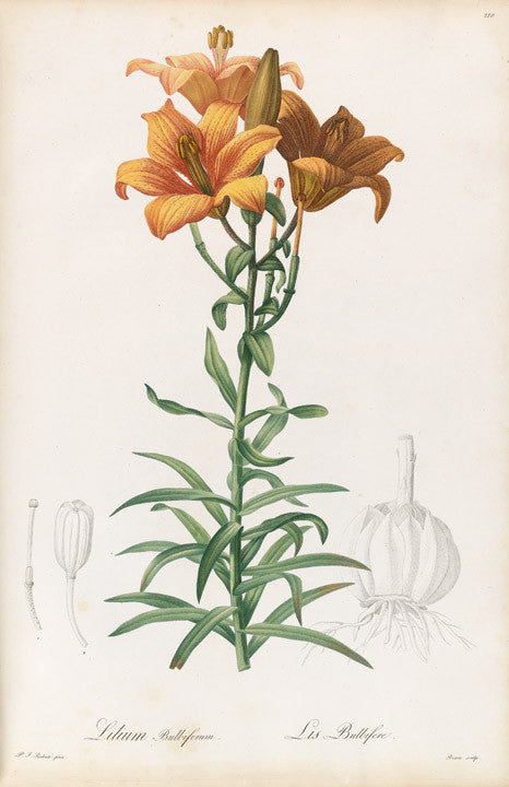 REDOUTÉ Pierre-Joseph (1759-1840). Plate 210, Orange Lily     Lilium bulbiferum