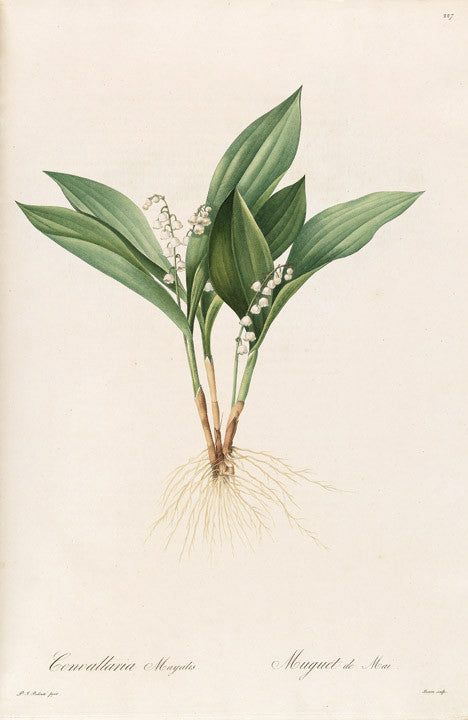 REDOUTÉ Pierre-Joseph (1759-1840). Plate 227, Lily-of-the-Valley     Convallaria majalis