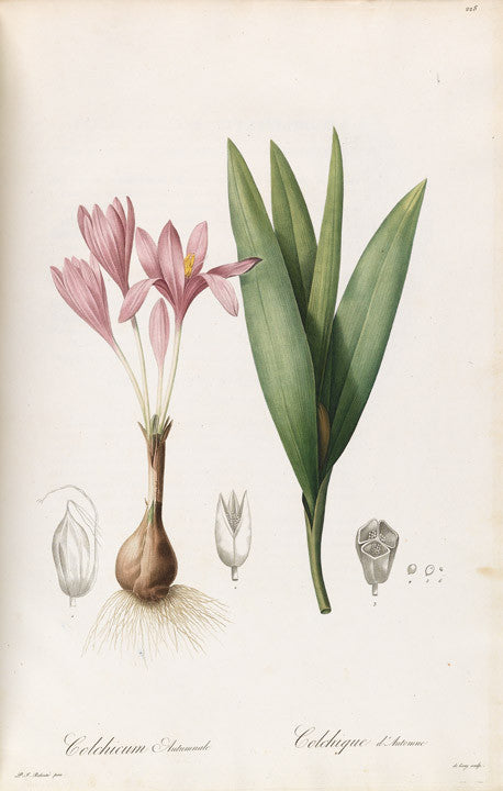 REDOUTÉ Pierre-Joseph (1759-1840). Plate 228, Common Naked Ladies     Colchium autumnale
