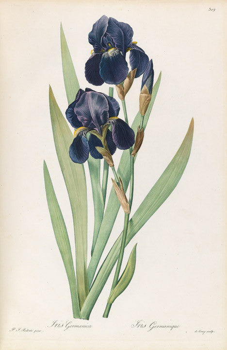 REDOUTÉ Pierre-Joseph (1759-1840). Plate 309, Tall Bearded Iris     Iris germanica