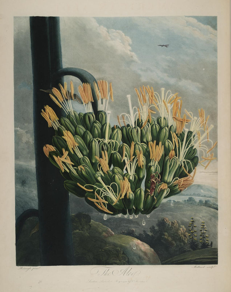 THORNTON, Dr. Robert John (1768 – 1837) Plate 12, The Aloe