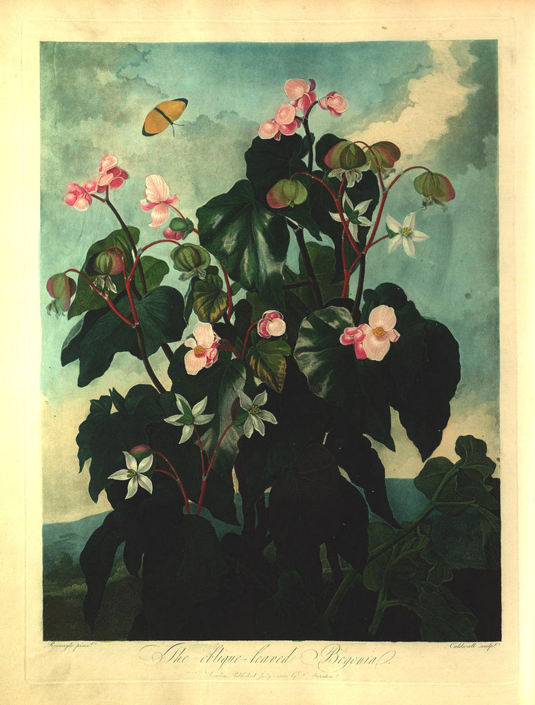 THORNTON, Dr. Robert John (1768 – 1837) Plate 15, The Oblique-Leaved Begonia