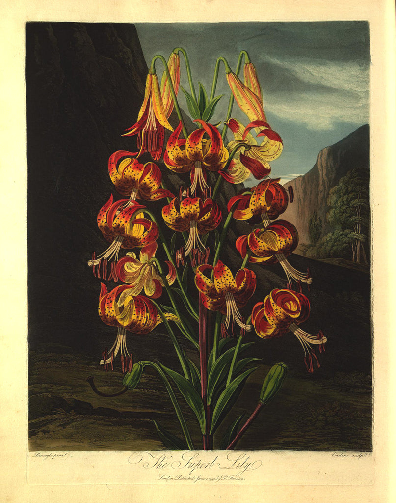 THORNTON, Dr. Robert John (1768 – 1837) Plate 21, The Superb Lily