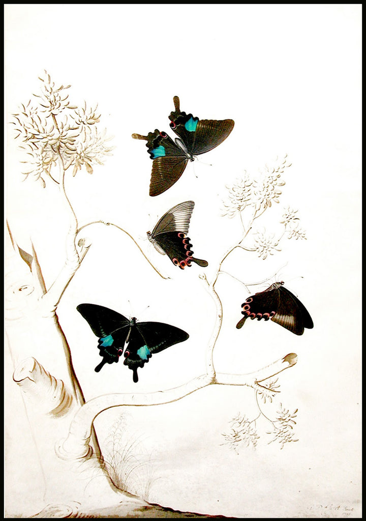 EHRET, Georg Dionysius. Swallowtail Butterflies. Watercolor on vellum. 1751.