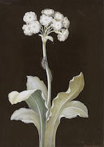 BAYER, Johann Christoph (1738-1812). A White Primula Auricula with Caterpilla. Nuremberg: ca 3rd and 4th quarters, 18th-century.
