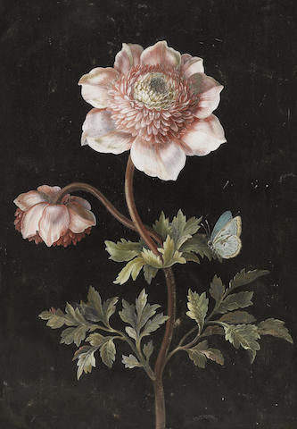 DIETZSCH, Barbara Regina (1706-1783).  Anemones and a Large Blue Butterfly (Phengaris arion). Nuremberg: ca 2nd and 3rd quarters, 18th-century.