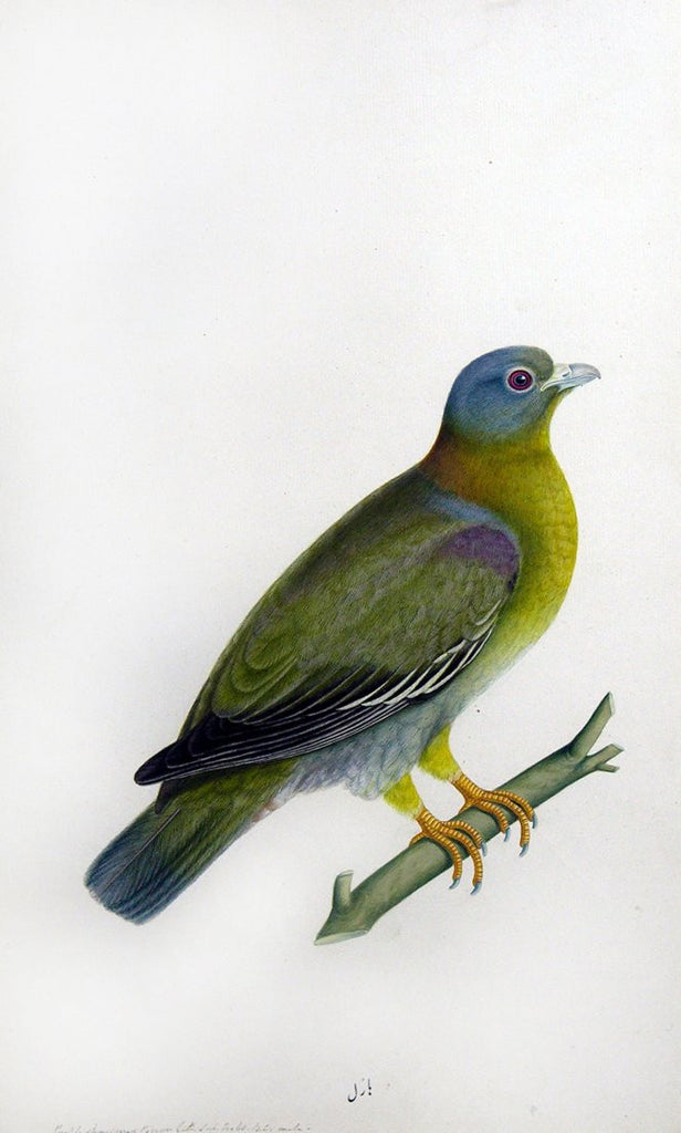 Lucknow School (c. 1775-1885),  Yellow-Footed Green Pigeon,  1780.