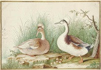 ROBERT, Nicolas (1614-1685), or school of. Couple de canards huppés (Lophonetta specularioides). Paris: third quarter 17th-century.