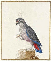 ROBERT, Nicolas (1614-1685), or school of. Pione violette sur un rocher (Pionus fuscus). Paris: third quarter 17th-century.