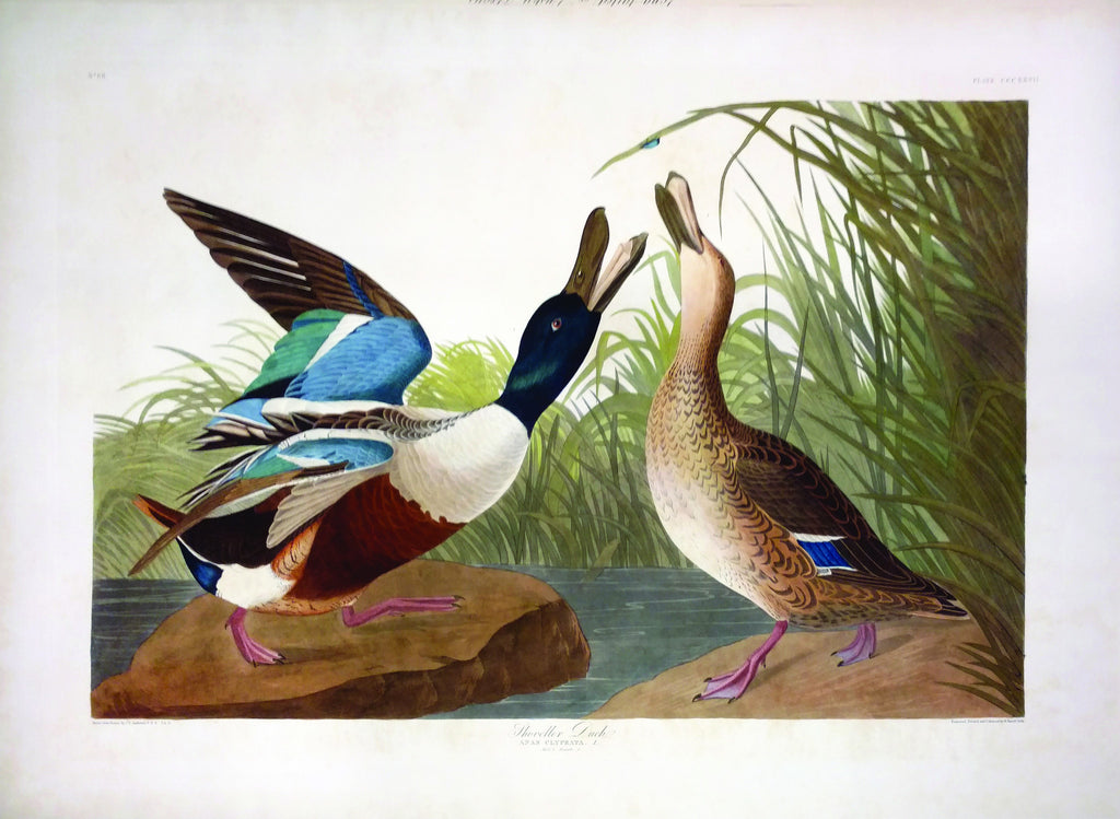 AUDUBON, John James (1785 - 1851), Shoveller Duck, Plate CCCXXVII (London: Robert Havell, 1836)