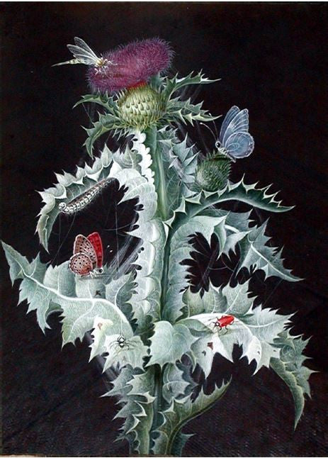 DIETZSCH, Barbara Regina (1706-1783). A Study of a Thistle. Watercolor on paper.