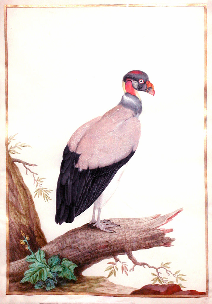 ROBERT, Nicolas (1614-1685). King Vulture (Paris, c. 1670). Watercolor on vellum with gold fillet.