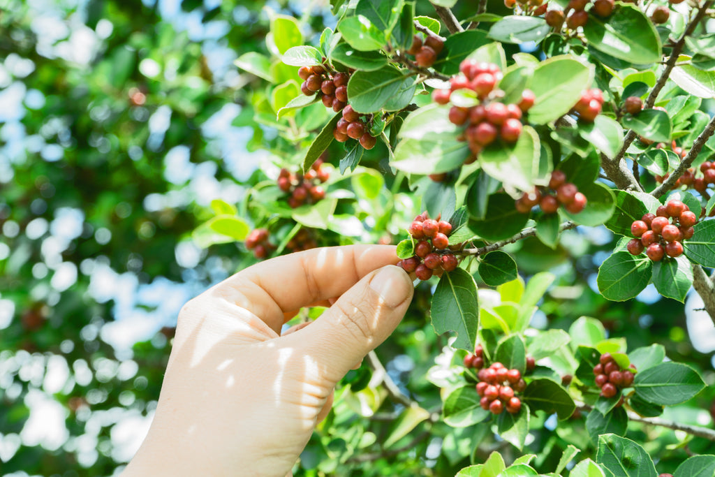 coffee berries on a tree