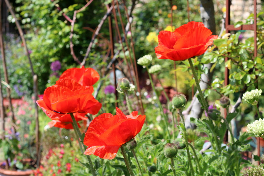 Papaver Orientalis. Garden House Brighton by What You Sow.