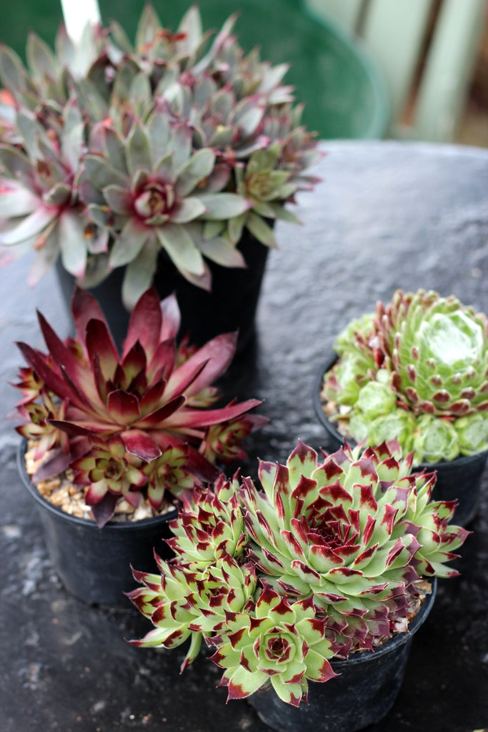 Sempervivum. Garden House Brighton by What You Sow.