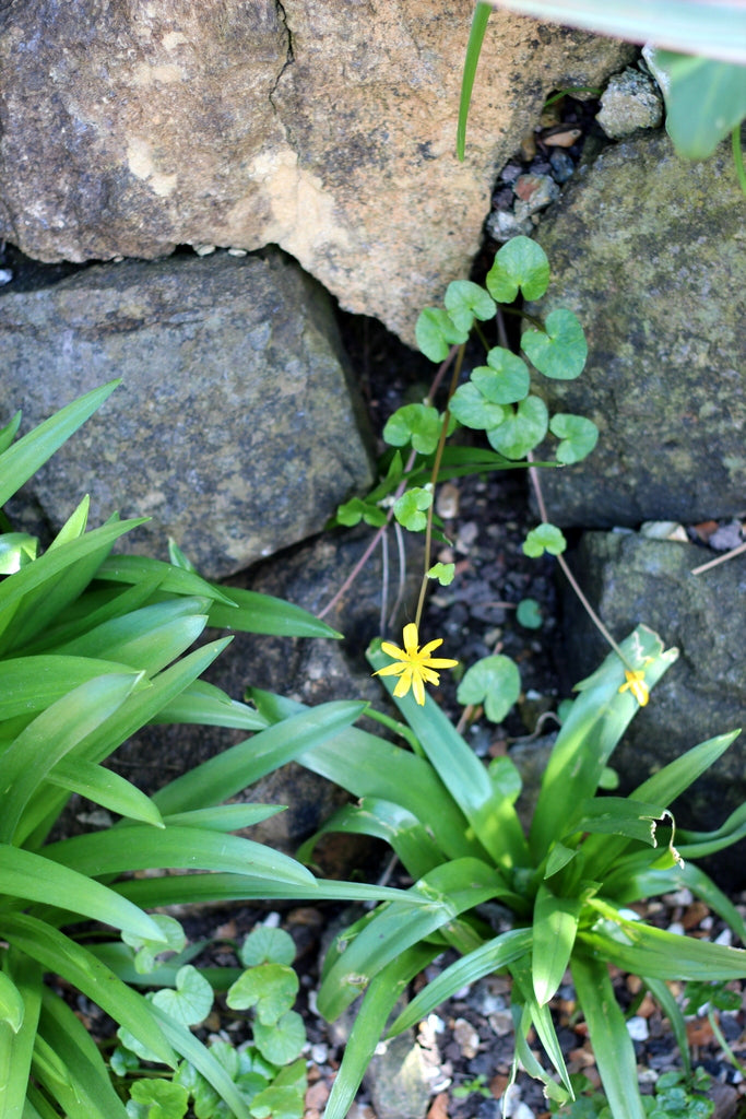 Celandine. Garden House Brighton by What You Sow