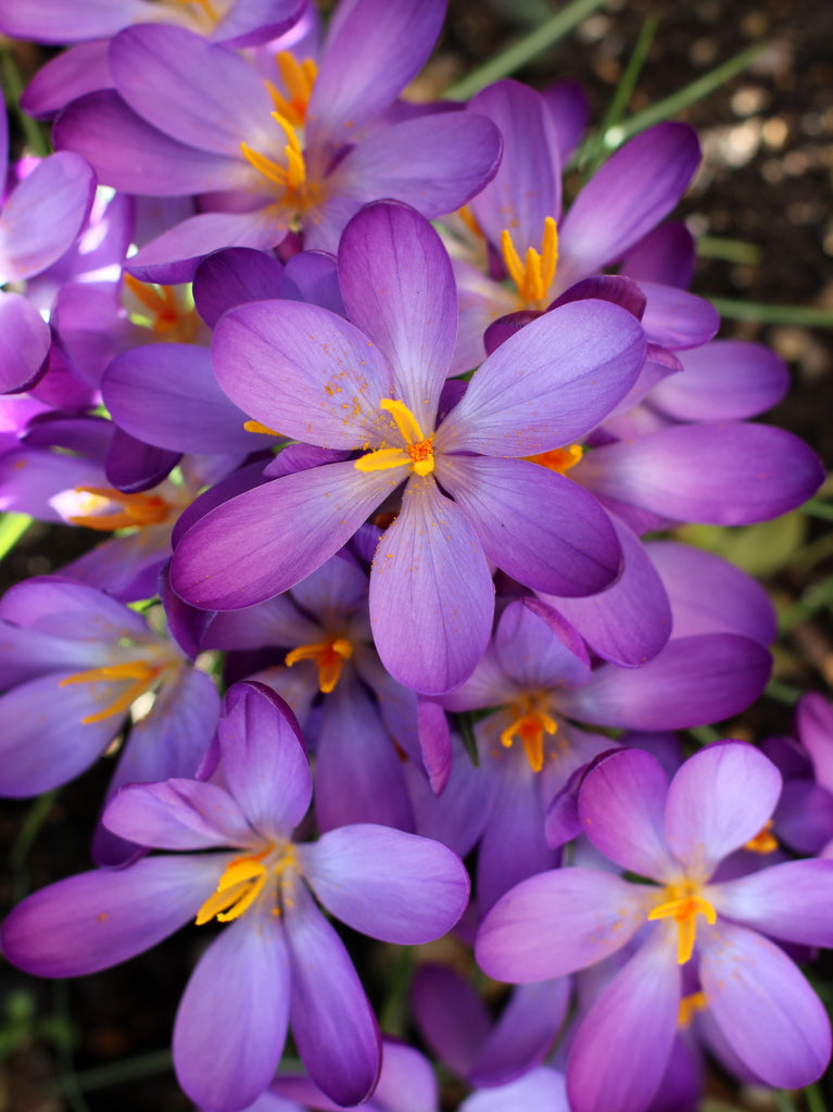Crocus. What You Sow at The Garden House