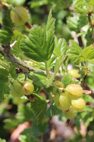 Gooseberries. Garden House Brighton by What You Sow.