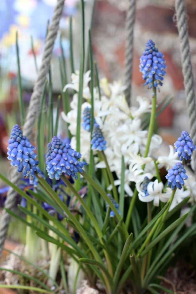 Hyacinth basket at the Garden House Brighton by What You Sow.