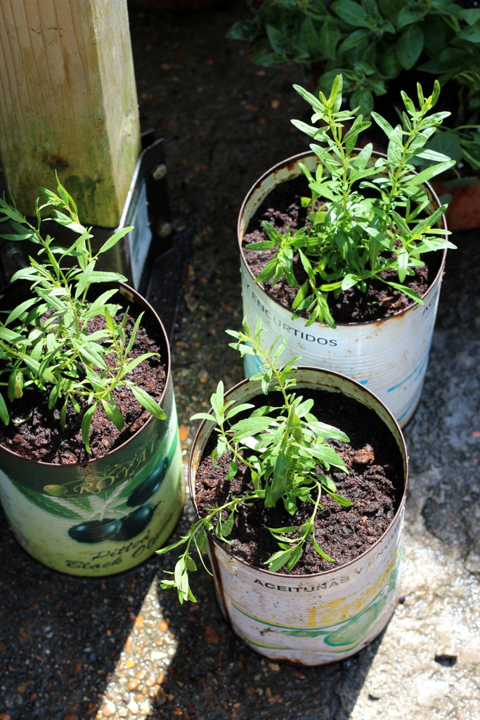 Hyssop in olive tins. Garden House Brighton by What You Sow.
