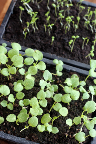 Pricking out seedlings at the Garden House Brighton by What You Sow.