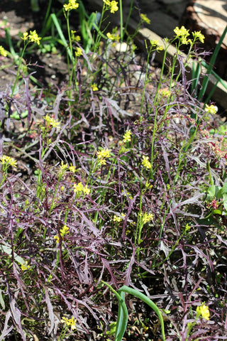 Red mustard. Garden House Brighton by What You Sow.