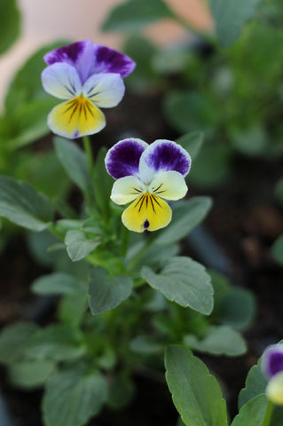 Viola. Garden House Brighton by What You Sow.