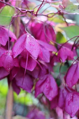 Rhodochiton. A September stroll around the garden with What You Sow