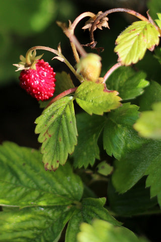 Alpine Strawberry. A September stroll around the garden with What You Sow