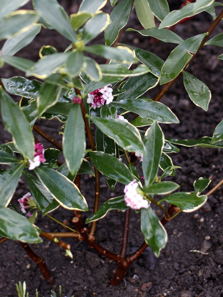 Daphne shrub at The Garden House, Brighton. Photo by What You Sow.
