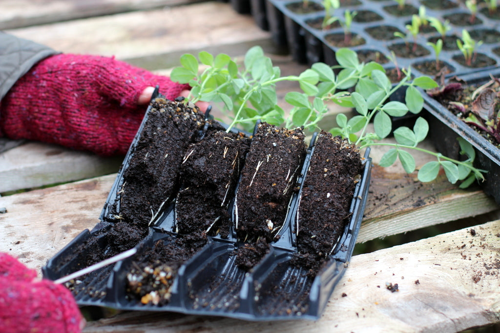Garden House Brighton sweet peas root trainers