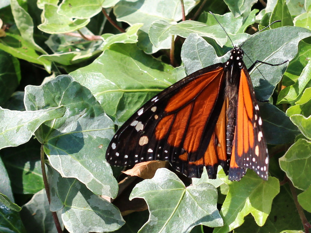 Monarch Butterfly Brighton spotted 9th July 2015 by What You Sow