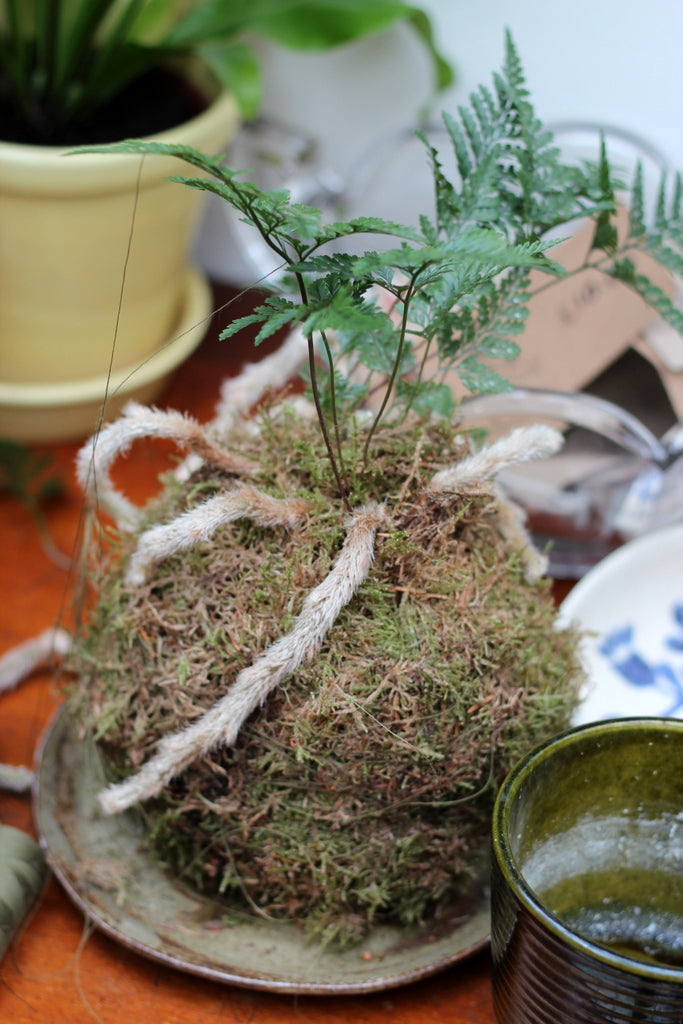 Spiderplant Brighton Fern kokedama