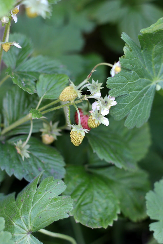 Alpine Strawberries in October